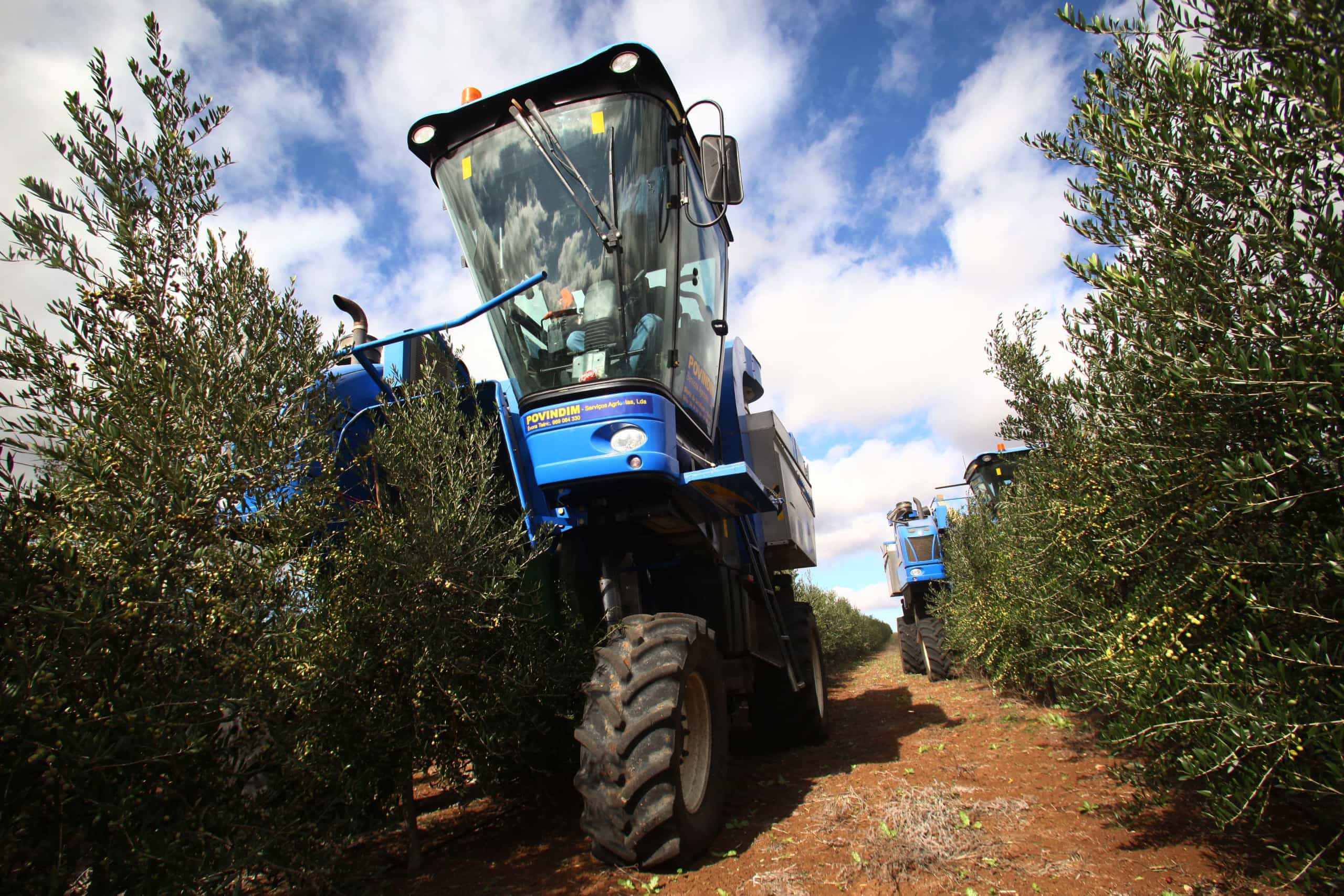 Produção de azeitona para azeite pode sofrer quebra superior a 20%