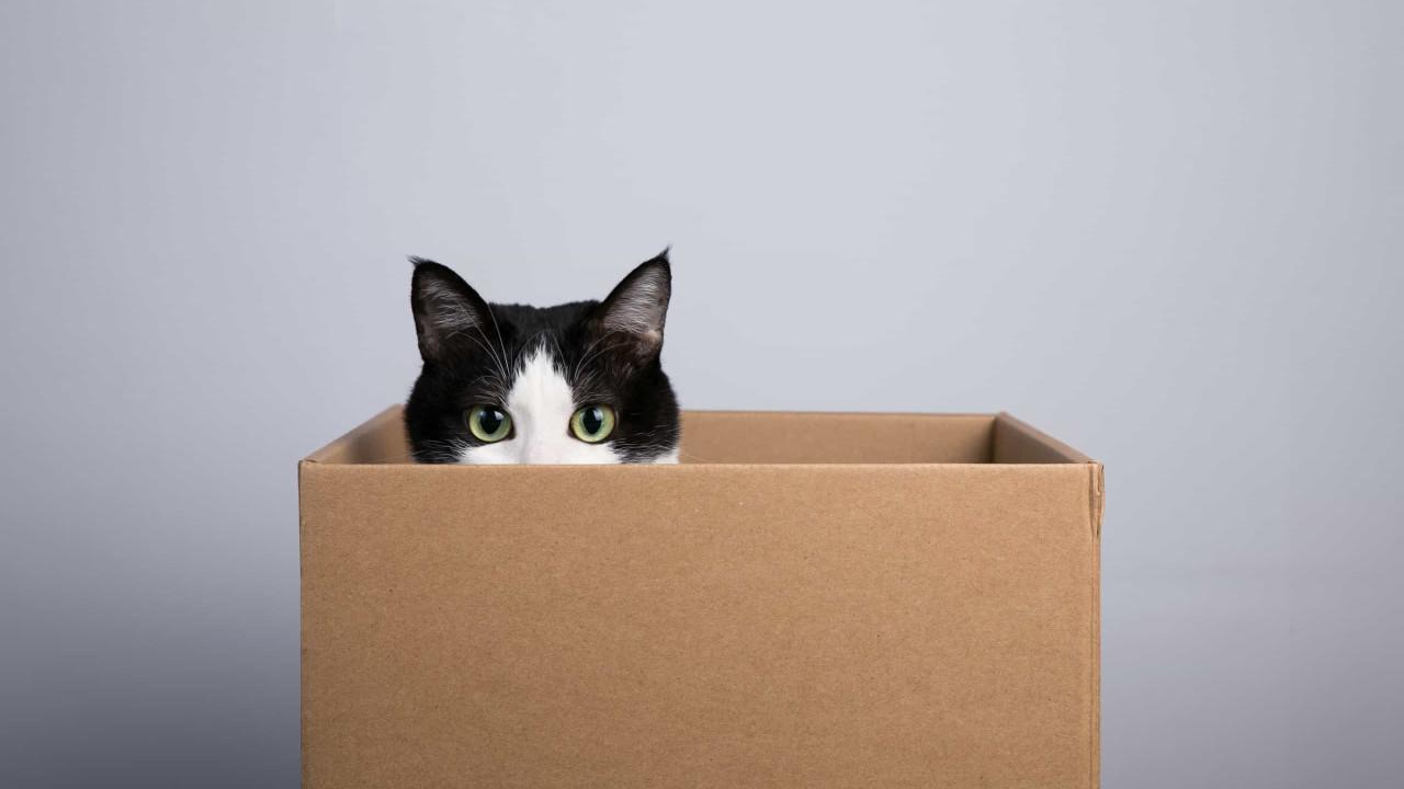 Gatos são instintivamente atraídos por caixas. É a ciência que o diz