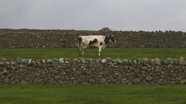 Governo dos Açores e agricultores divergem sobre abate de cabeças de gado
