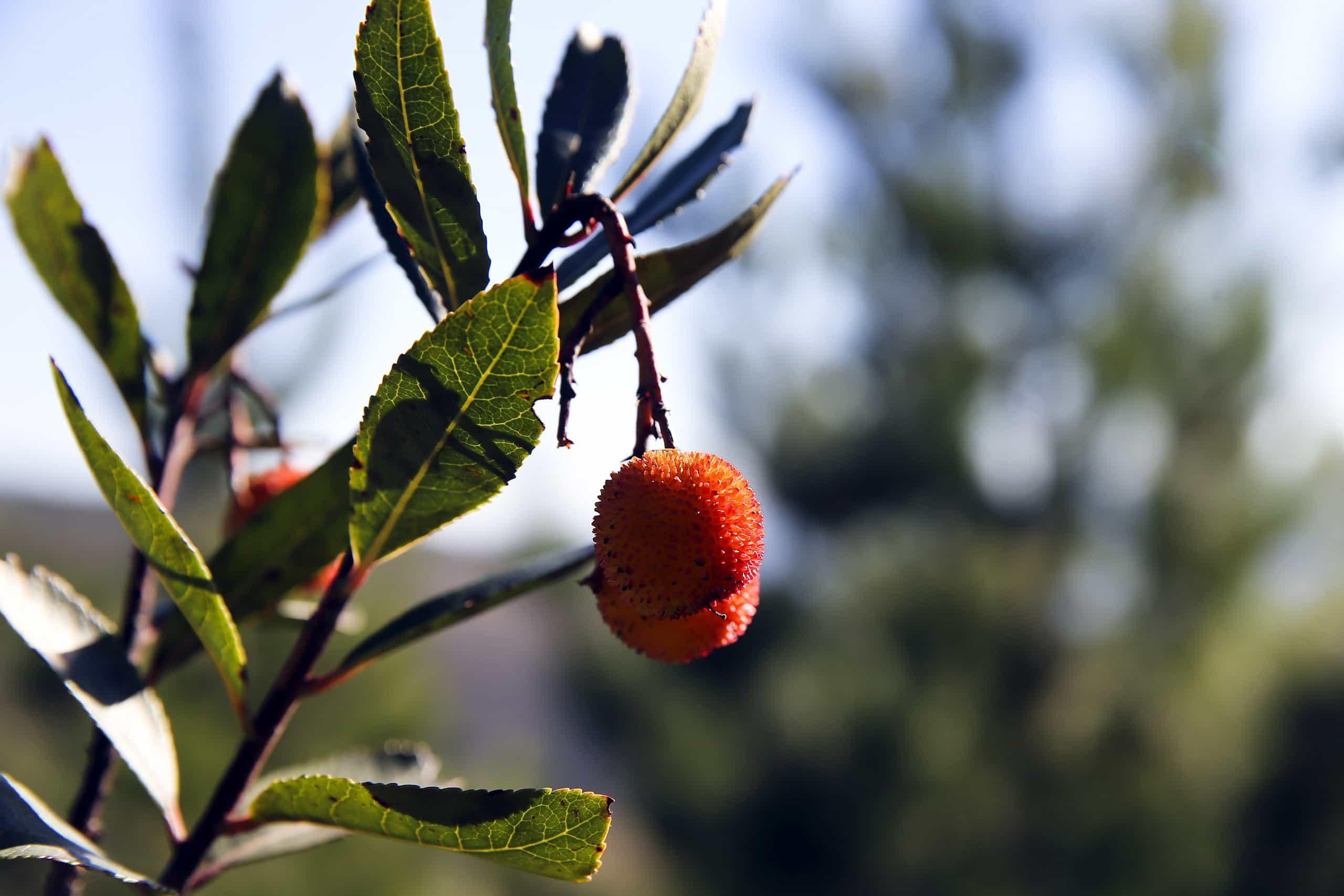 Cooperativa diz que Portugal pode ser maior produtor mundial de medronho