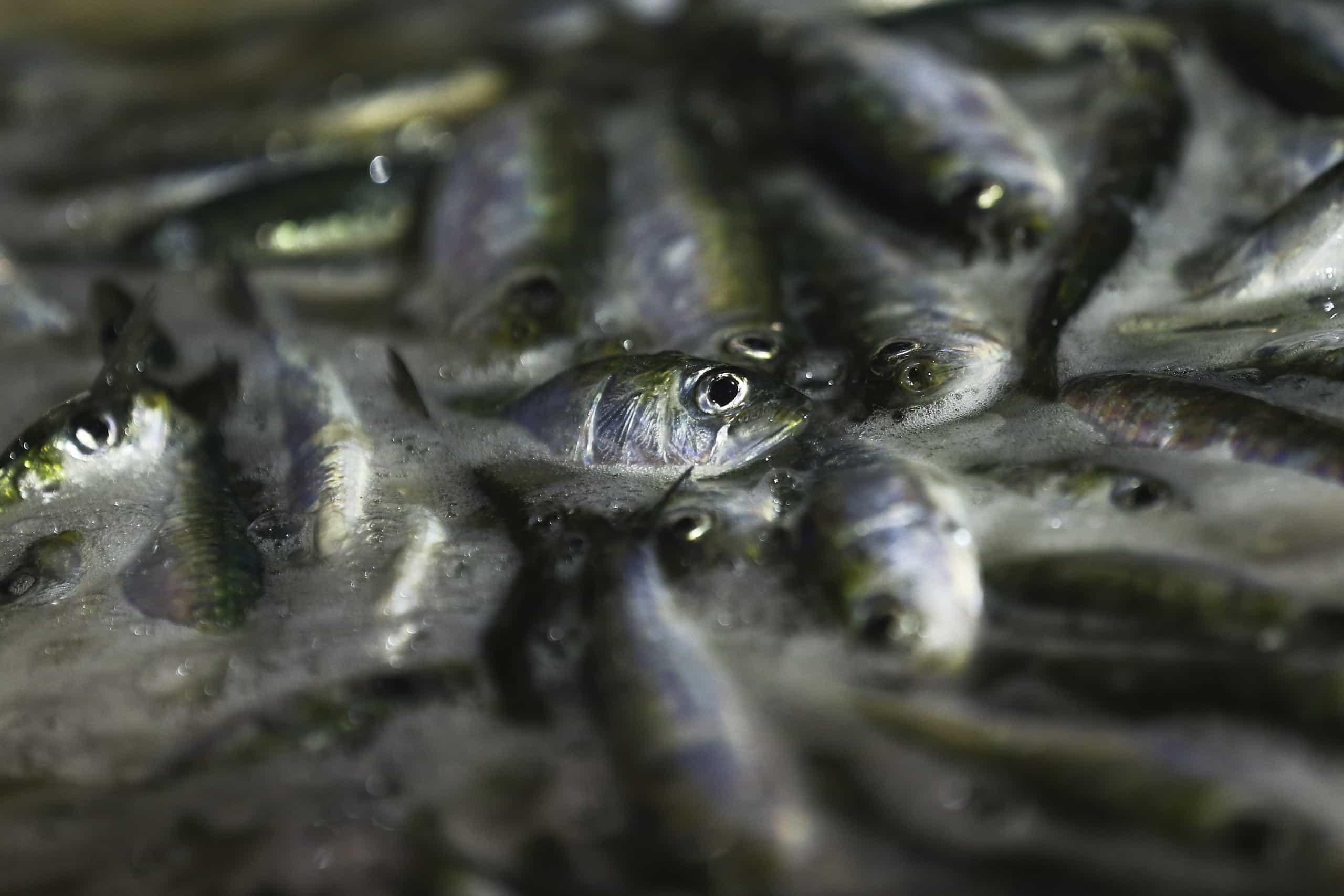 Contra-análise prova que sardinhas DIA estavam aptas para consumo