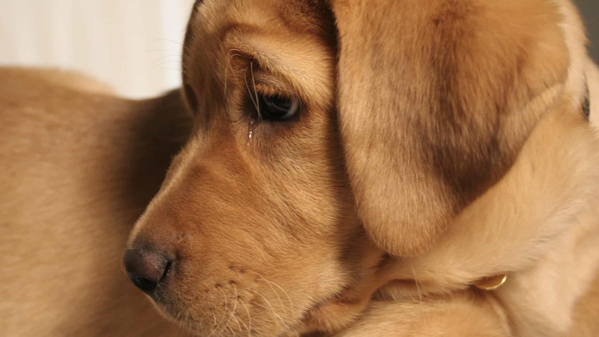 Cães: As principais causas para a barriga inchada