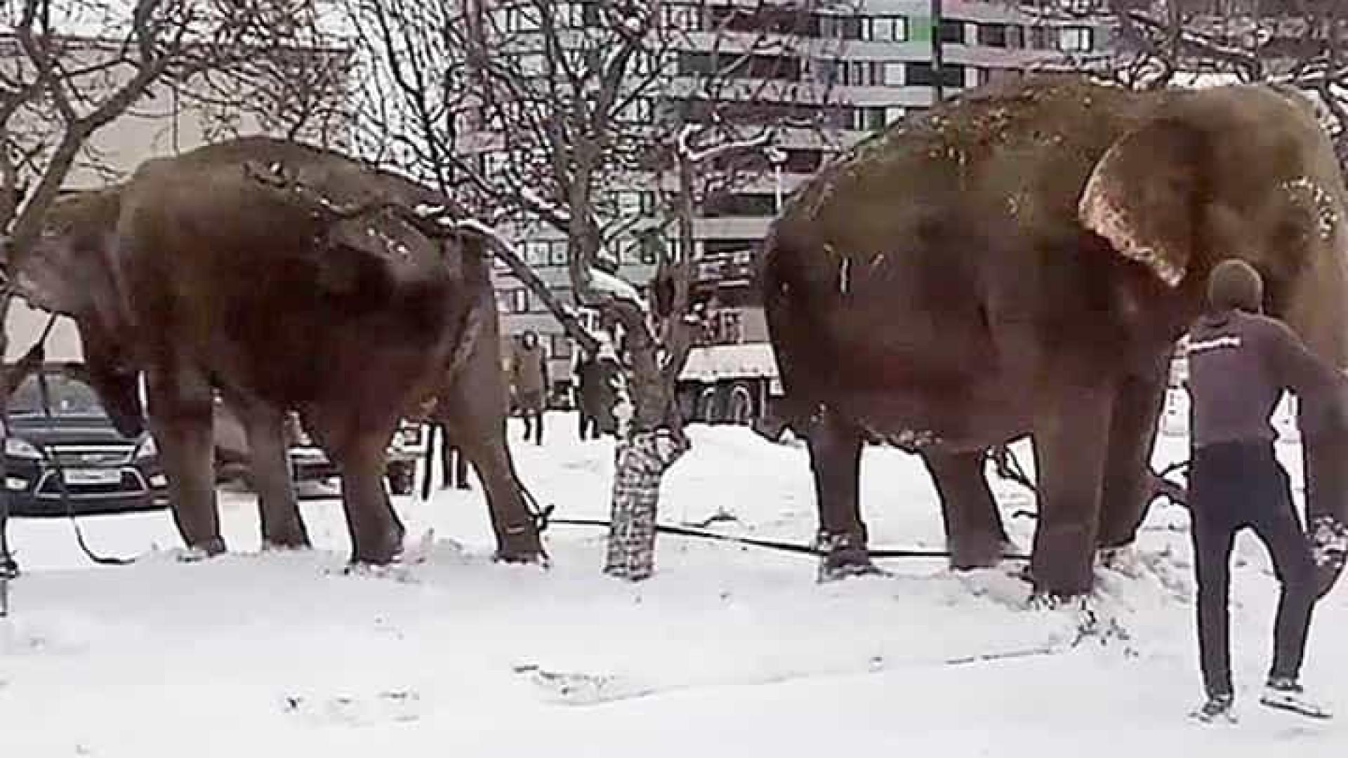 Elefantes fogem de circo na Rússia para brincar na neve
