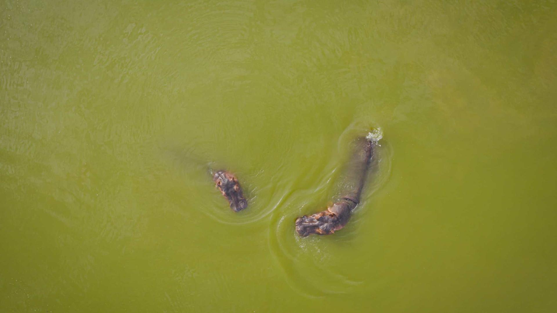 Colômbia esteriliza hipopótamos de Pablo Escobar