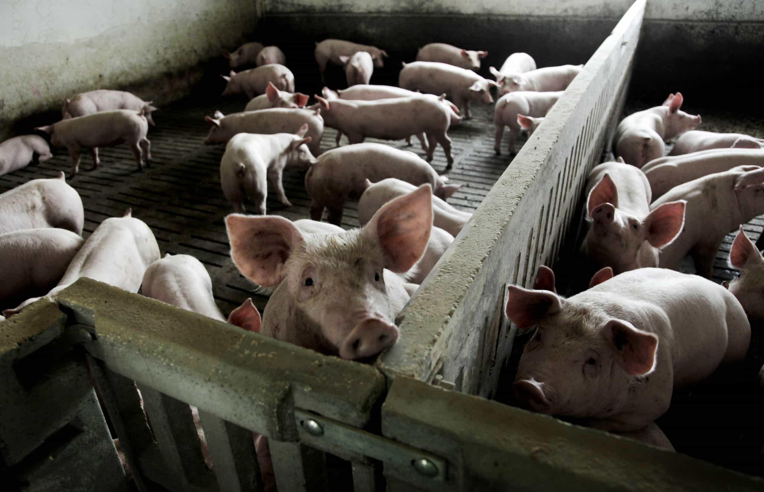 Incêndio em suinicultura matou 233 porcos