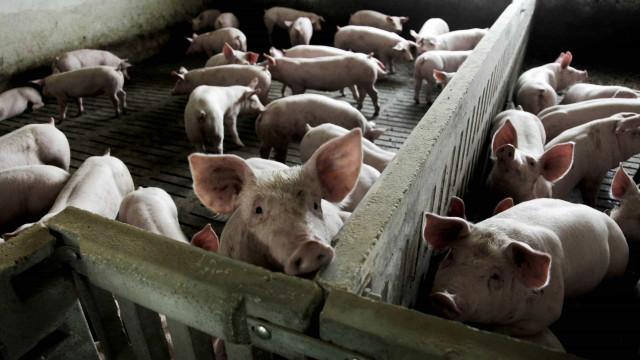 Portugal começa a vender suínos para a China em dezembro