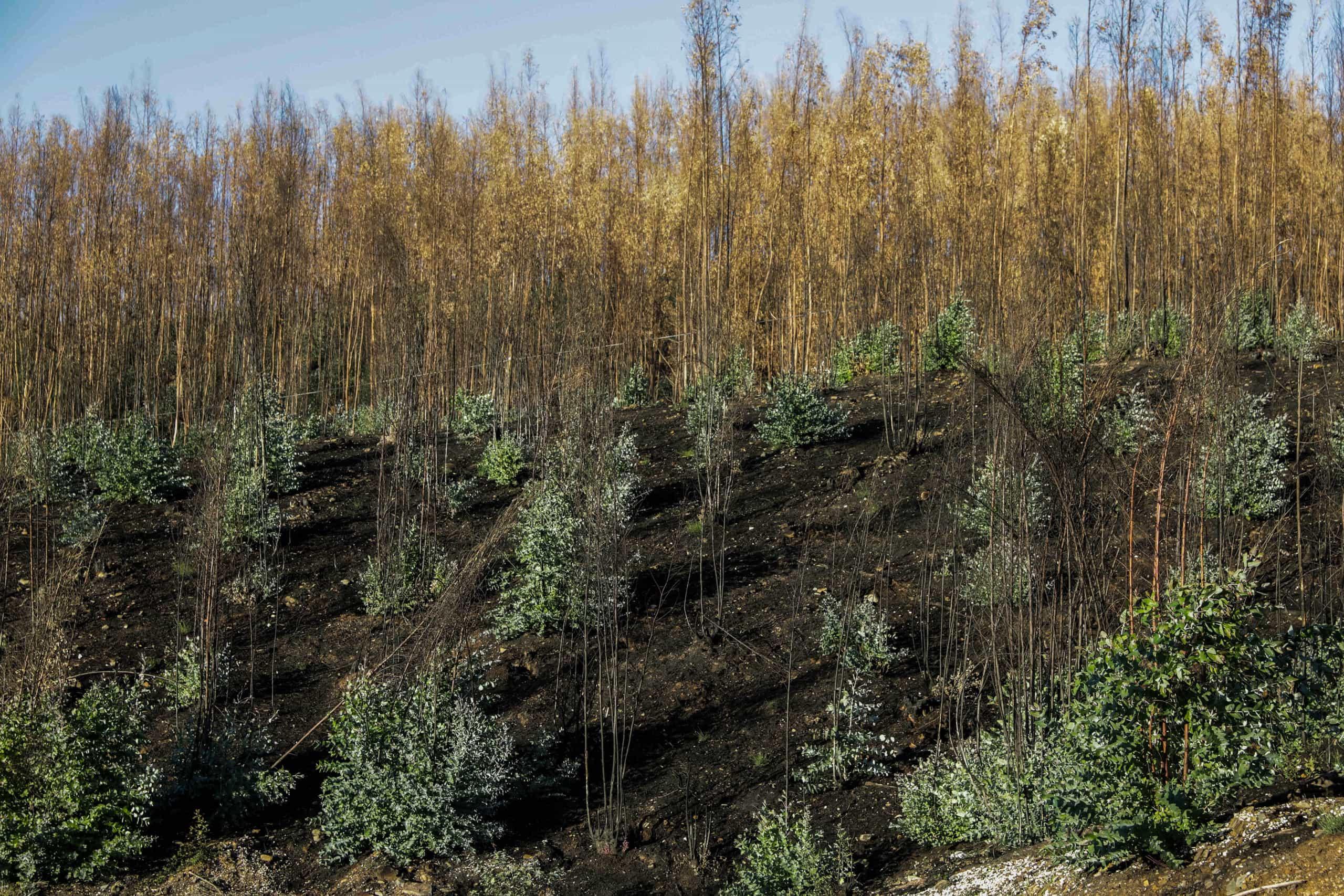 Aprovadas coimas até 44 mil euros para plantações ilegais de eucalipto