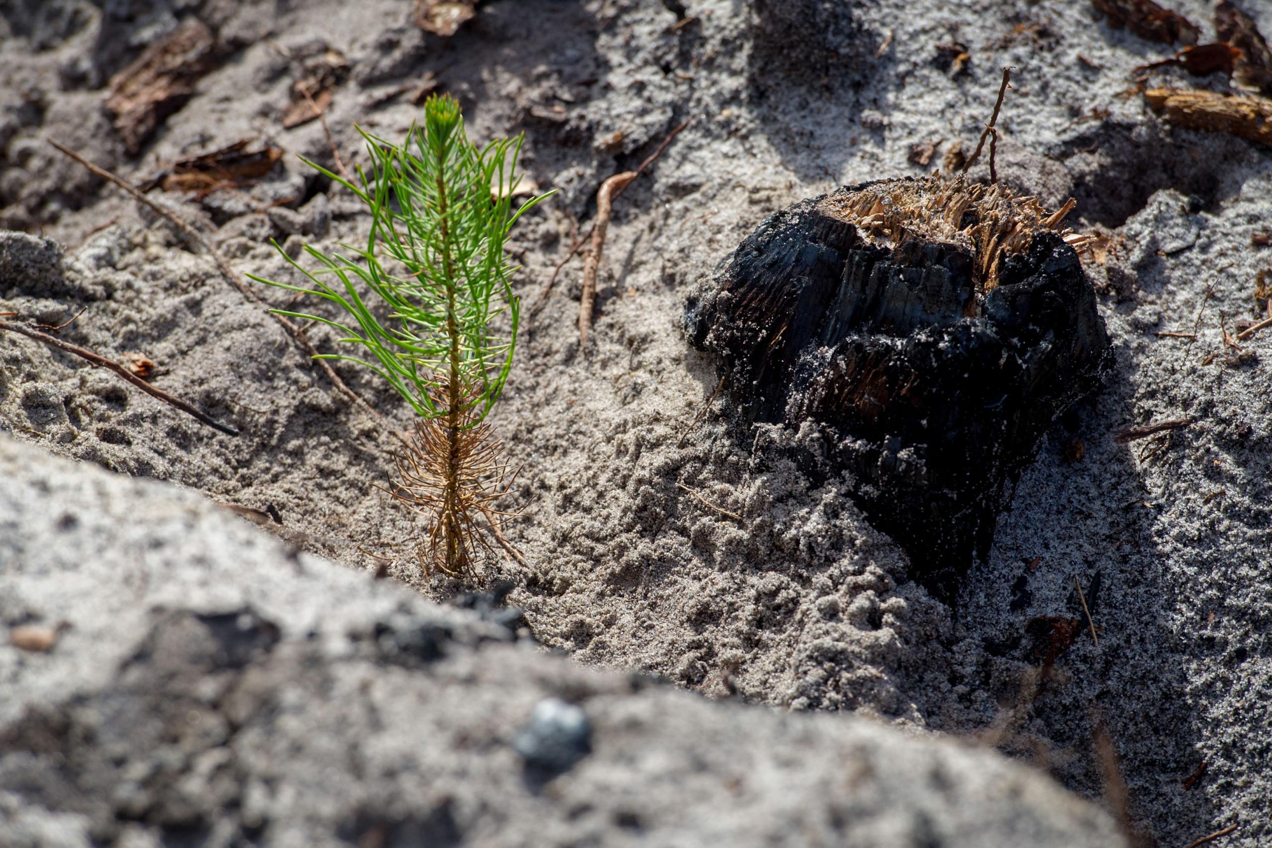 Cerca de 80% das árvores plantadas nos pinhais do litoral morreram
