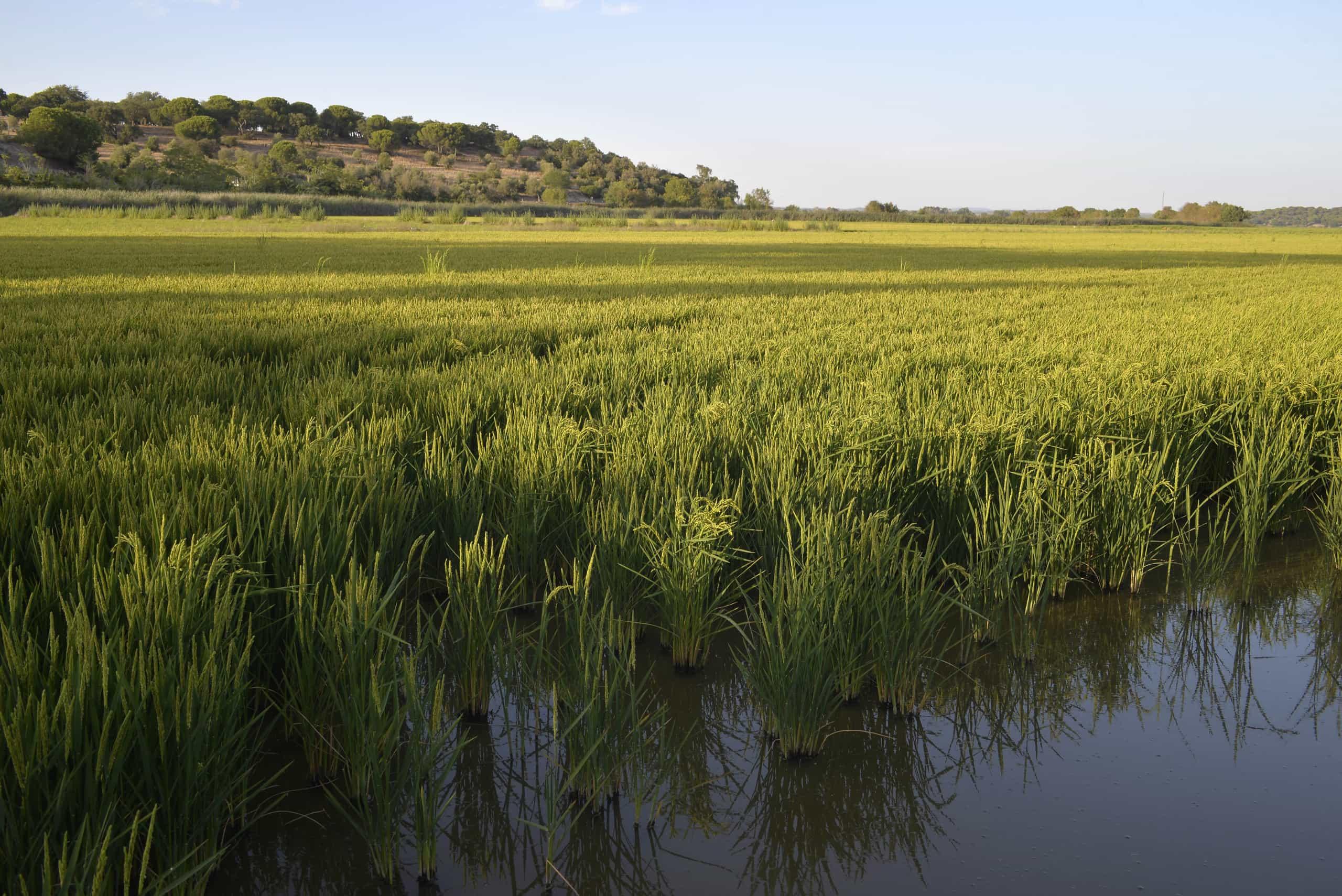Vale Sado: Produtores de arroz estimam quebra de 25% da área de cultivo