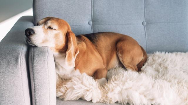 Cães conseguem farejar cancro com 97% de precisão