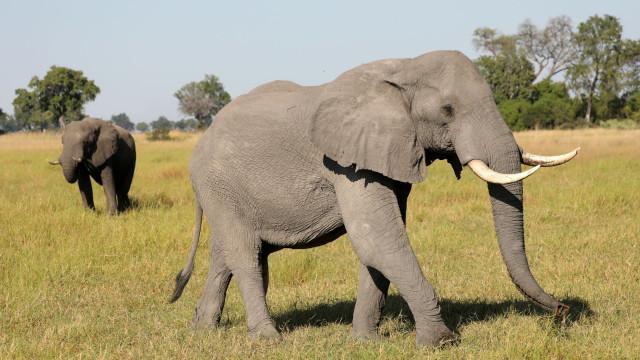 Zimbabué, Botswana e Namíbia querem poder voltar a vender marfim