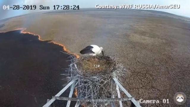 Cegonha rara escapa a incêndio devastador na Rússia