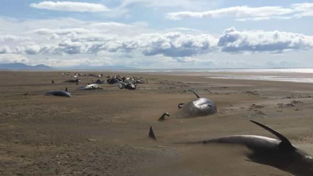 Cerca de 50 baleias encontradas mortas em praia da Islândia