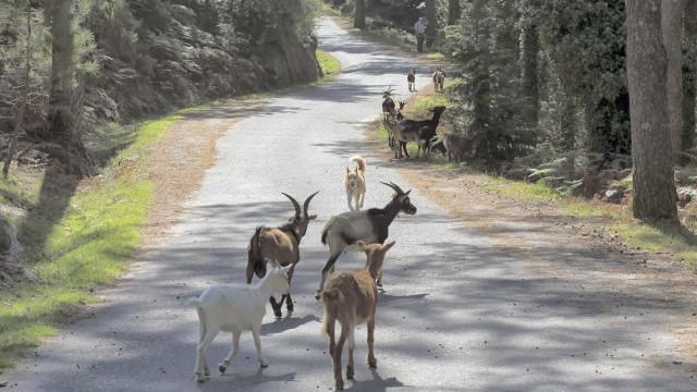 Cabras sapadoras levam Portugal às páginas do jornal The New York Times