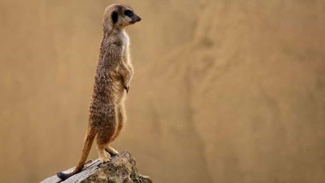 Nasceram 7 'Timons' em Lisboa. Zoo alerta para a preservação das savanas