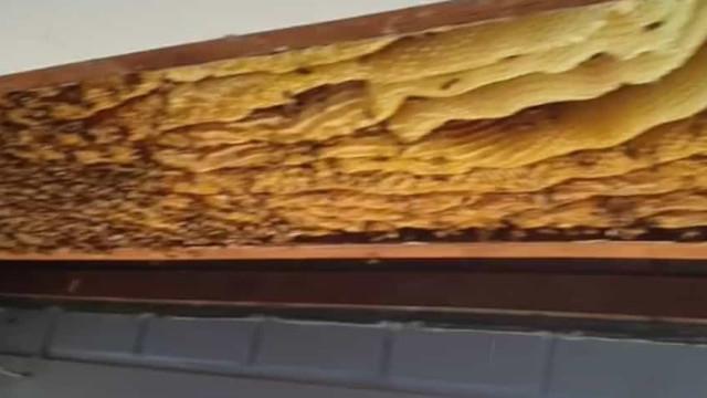 Colmeia gigante com 60 mil abelhas estava escondida no teto de uma casa