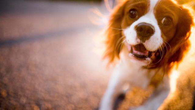 Por que ladram os cães quando ouvem buzinas e sirenes?