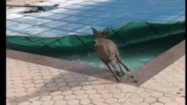 Veado fica preso em piscina em Nova Iorque e faz fuga dramática