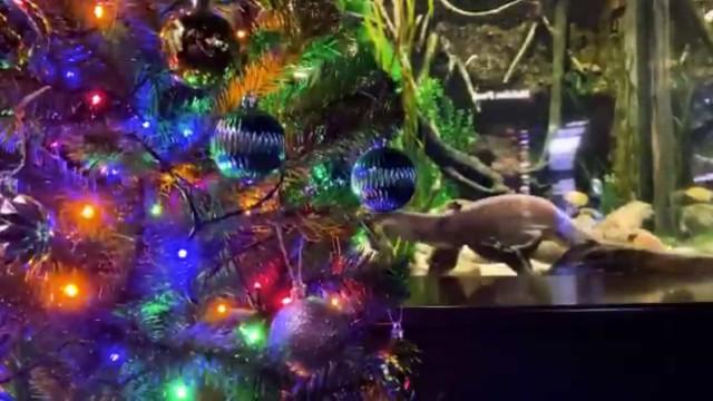 Enguia elétrica dá energia a luzes de árvore de Natal. Chocado? Ora veja