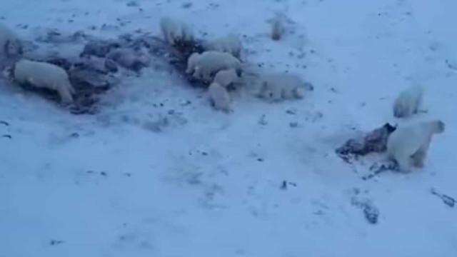 Aldeia russa foi invadida por mais de 50 ursos polares