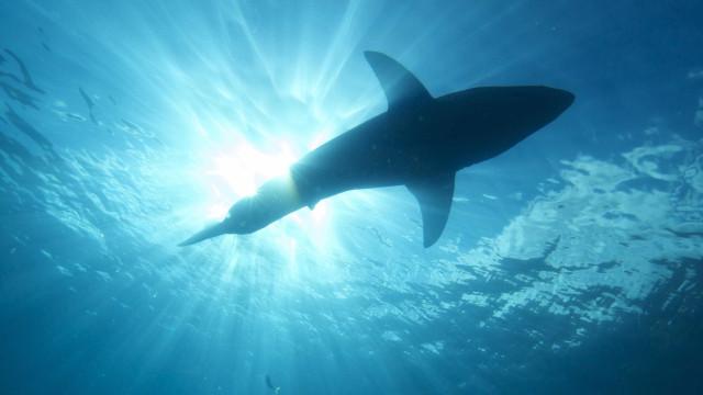 Drone captou tubarão-branco junto a banhistas que... não o viram