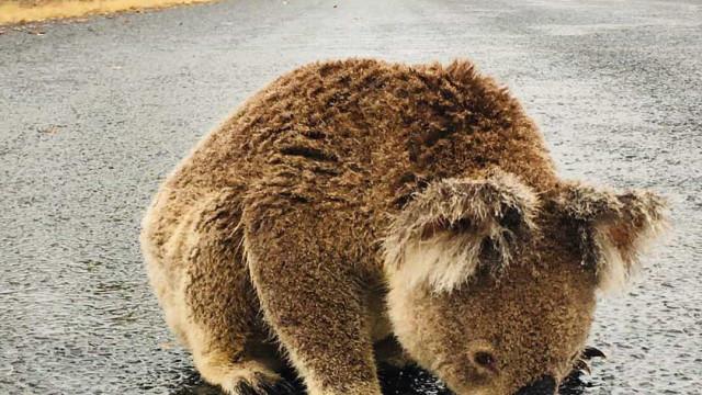Depois dos fogos na Austrália, a chuva. E este coala já está a aproveitar