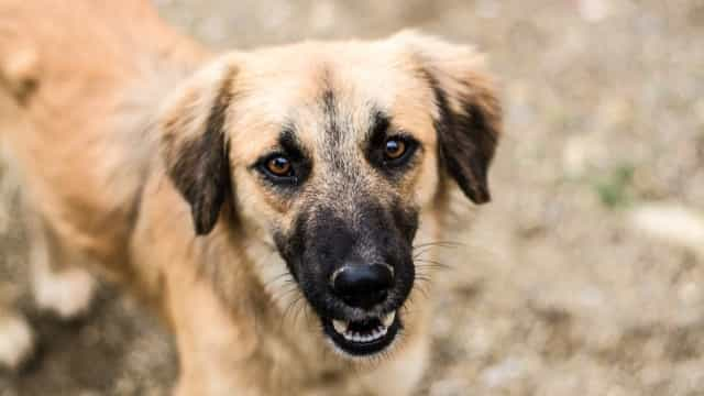Por que os cães fazem contato visual prolongado com os donos?