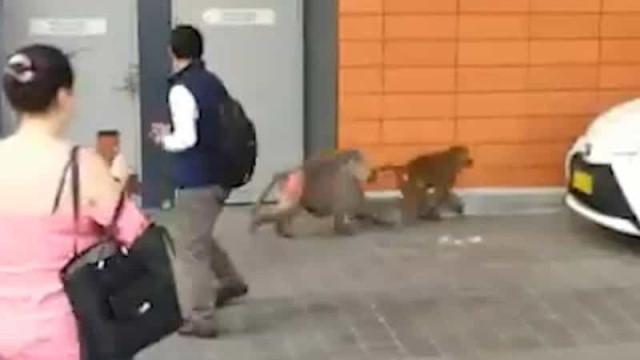 Babuínos fogem a correr de hospital em Sidney e provocam o caos