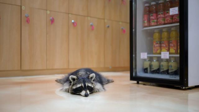 Pandemia deixa guaxinins, suricatas e gatos 'sozinhos' neste café