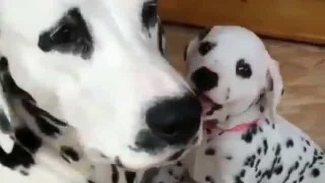 'Brinca comigo, mamã!'. Dálmata bebé faz tudo para ter atenção