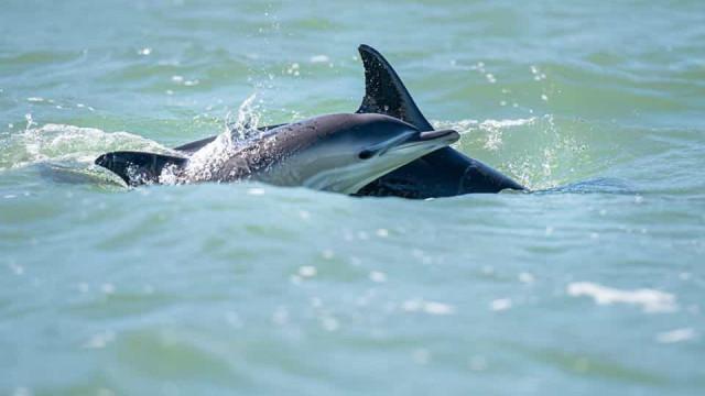 Golfinhos estão de volta ao rio Tejo em Lisboa. Eis as imagens