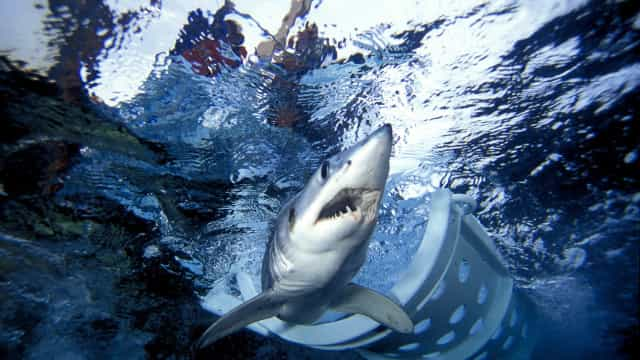 Tubarões. Andam sempre por cá, agora vemo-los mais por causa da pandemia