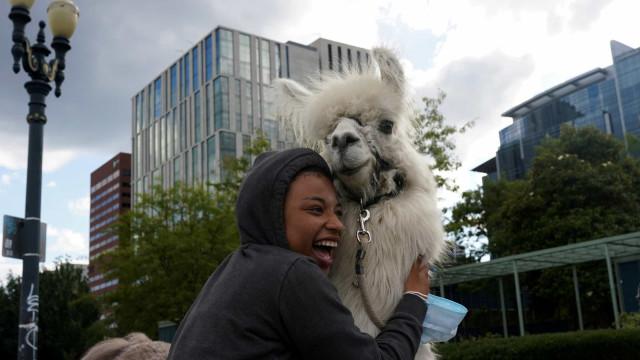No Drama Llama. Caesar dá abraços durante protestos antirracismo nos EUA