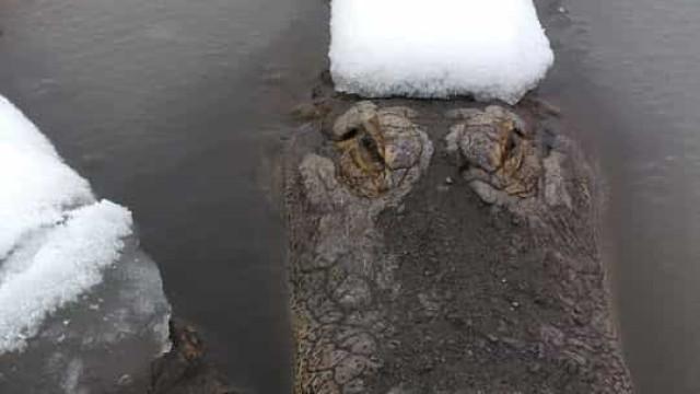 No Colorado, jacarés apanham banhos de sol na neve