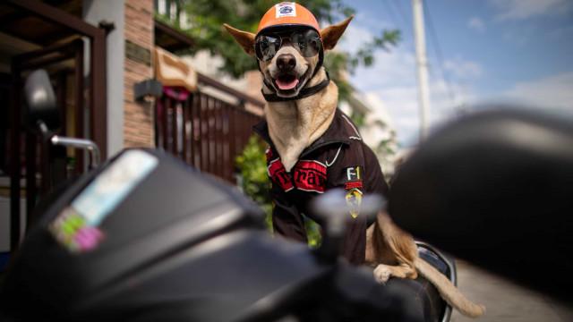 Este é Bogie, o cão motard que faz sucesso nas estradas das Filipinas