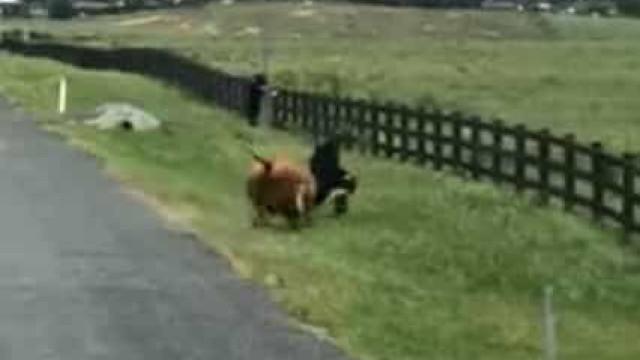 Vaca à solta persegue e atinge bombeiro na Austrália
