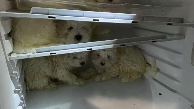 Polícia alemã resgata cães bebés de frigorífico. Quatro mulheres detidas