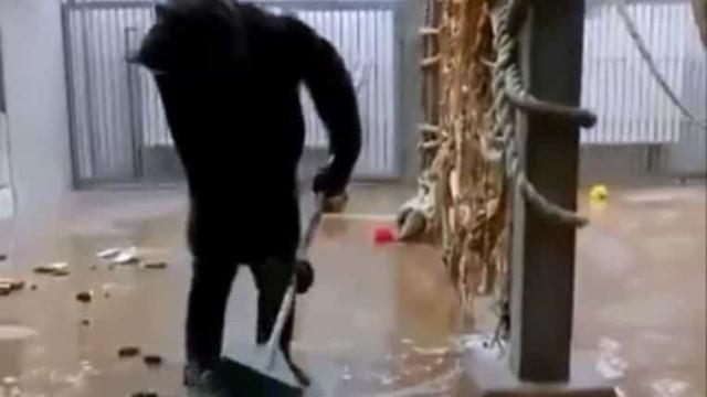 Tratador esquece-se de vassoura e chimpanzé começa a limpar a jaula. Veja