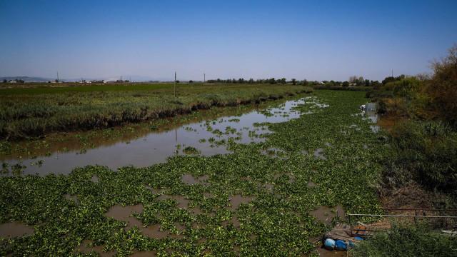 Rio Sorraia, no Ribatejo, está intransitável devido a praga de jacintos