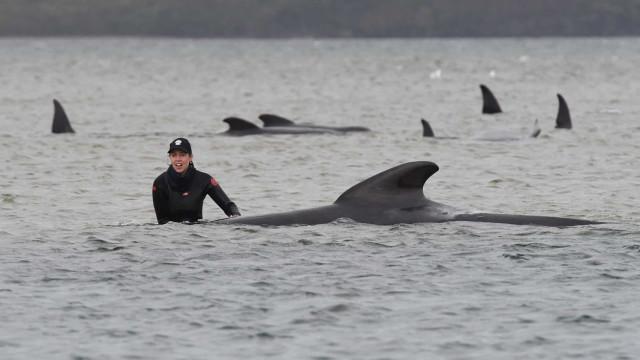 Morreram 380 das baleias que estavam encalhadas na Austrália