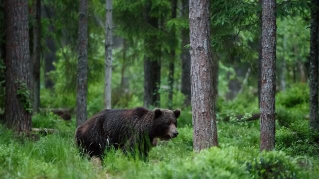 Urso inicia jornada por vários Estados dos EUA em busca do amor