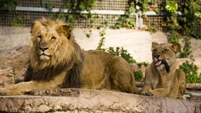 A incrível reação de um leão ao ver bebé fantasiado de... leão