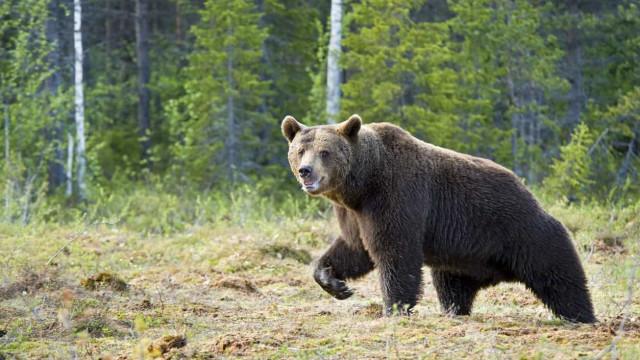 Homem atacado por urso há um mês encontrado com vida
