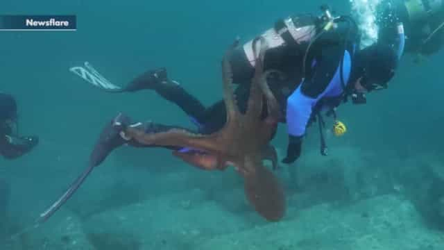 Polvo agarra mergulhador com tentáculos. Eis as imagens