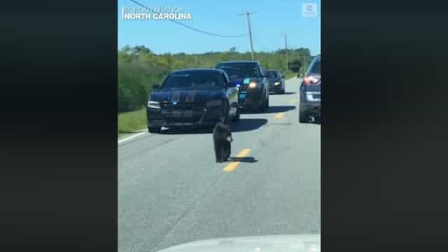 Urso bebé faz parar o trânsito e tem direito a escolta policial