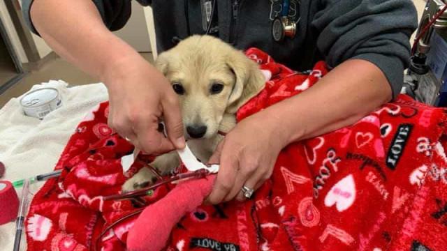 Cadelinha bebé que fugiu após despiste encontrada 13 dias depois