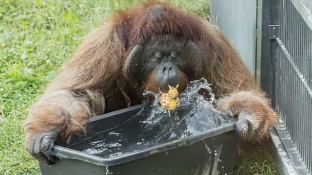 Banheira e pato de borracha. Orangotangos refrescam-se em onda de calor