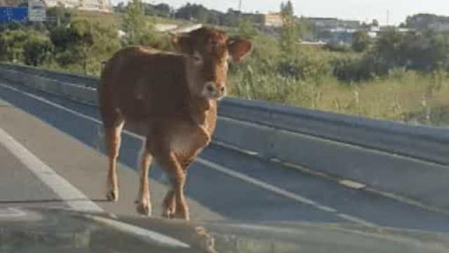 """PSP abate vaca que invadiu A19. Havia o risco """"iminente de fugir"""""""