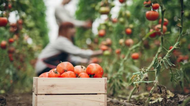 """Campanha do tomate pode ter """"rendimento agrícola recorde"""""""