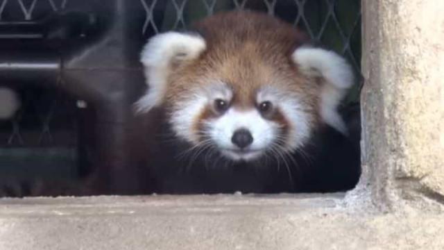 Raro panda vermelho nasce em jardim zoológico do Milwaukee
